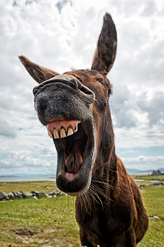 Laughing Donkey Stock Photo - Download Image Now - iStock